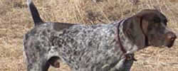 Jandal German Shorthaired Pointers